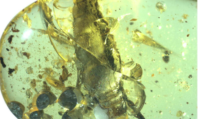 یک تولد 99 میلیون ساله در کهربا